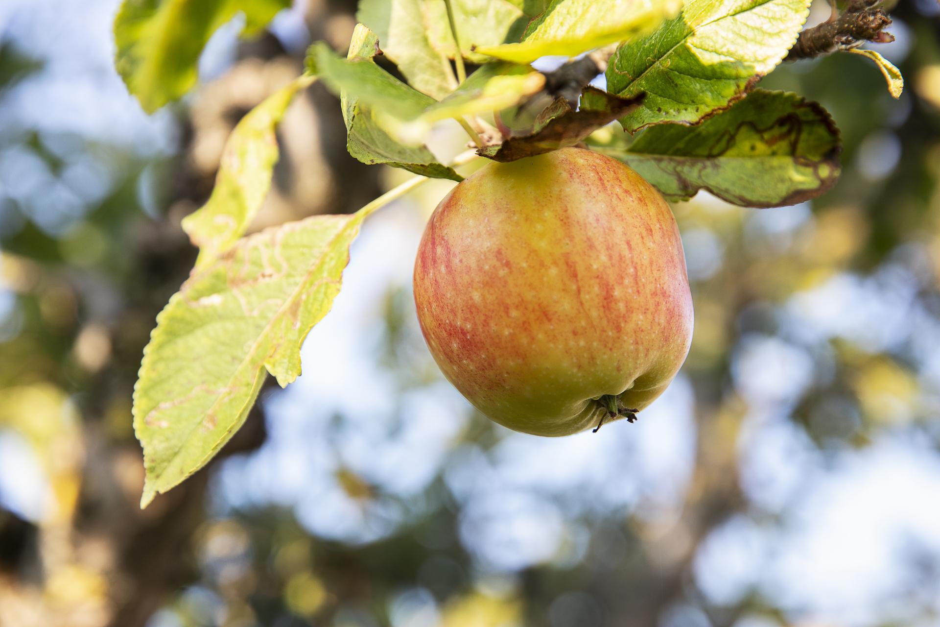 Detaljbild - äppelträd i trädgården